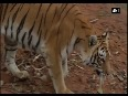 bengal tigers video