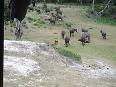 buffalo video