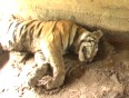 tiger moth video