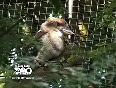 kookaburra video