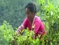 black tea video
