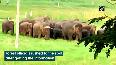 Watch Herd of jumbos stray into Andhra village