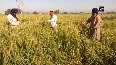 Amritsar farmers face shortage of labourers to harvest crop amid COVID-19 lockdown