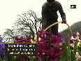Wow! Asia s largest Tulip Garden opens for public