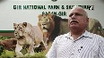 Population of Asiatic lions increases in Gujarat s Gir forest.mp4