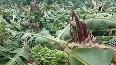 Farmers in distress as heavy rain destroys banana crop in AP