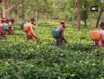 Tea workers in tripura get skill development training to enhance production