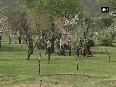 Blooming almond trees paint a surreal picture in Kashmir Valley