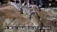 Crocodile enters residential area in Vadodara