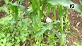 Shivamogga farmers struggle to mend losses after maize crops damaged by fall armyworms.mp4