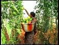 Good yield of capsicum delights farmers
