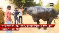 Hyderabad gears up for traditional Buffalo festival Sadar