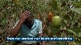 Farmers face huge loss in Karnataka as tomato prices fall