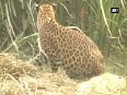 Leopard rescued from sugarcane field in Sitapur