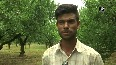 Favourable weather increases plum cultivation in Kashmir