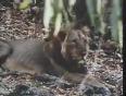 Asiatic Lion Attacks Goat