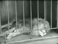Charlie chaplin the lions cage