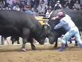 Japanese bull fighting