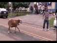Crazy goat goes wild attacking people!
