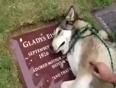 Dog-cries-on-owner-grave