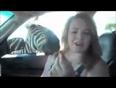 Zebra-bites-woman-in-car