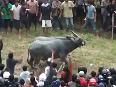 Bulls Fight turns dangerous