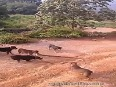 King Cobra fights with  Pack of Domestic Dogs