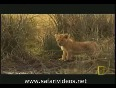 Lion Attack to Other Lions (Safari Videos)