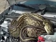 OOPS! Giant Python hides in car's bonnet
