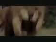 African-lion-vs-black-bear