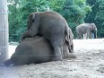 Baby elephant playing with his mother