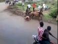 Ox-fight-man kolhapur