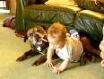 Baby mauls and rides our staffy bull  Cute very funny
