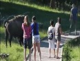 Bison chasing zoo visitors video