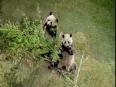 Pandas eat cold takeaway - jose cuervo #partyanimals